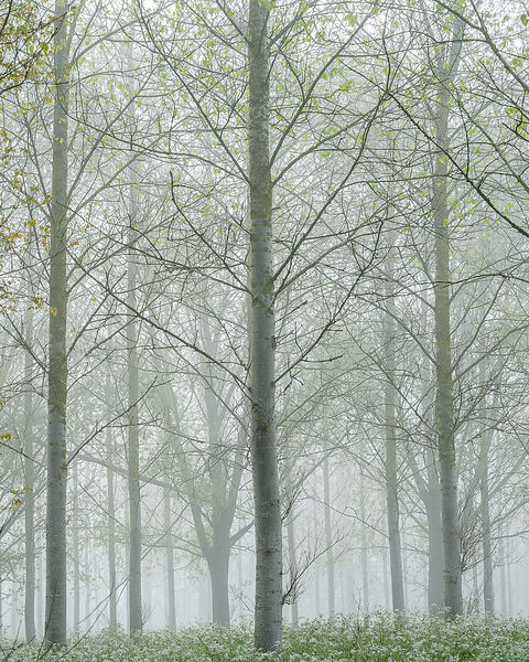 Thick fog amongst a tree plantation with fresh spring leaves at Clyst St Mary, Devon, UK