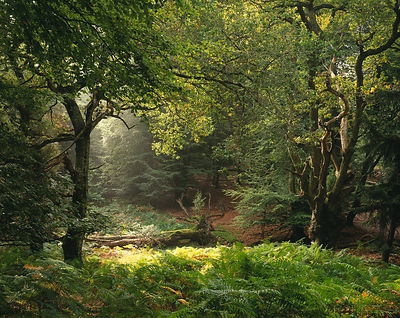 Sunlight in an English Forest