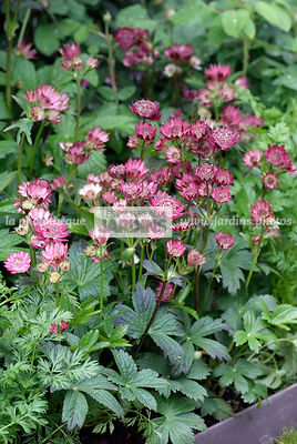 Astrantia major 'Gill Richardson', vivace, Paysagiste : Adam Frost, CFS, Angleterre