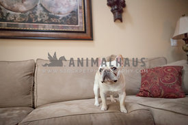french bulldog or frenchie standing in couch with map