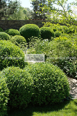 Buxus sempervirens (buis commun). Paysagiste : Tom Stuart-Smith. CFS, Angleterre