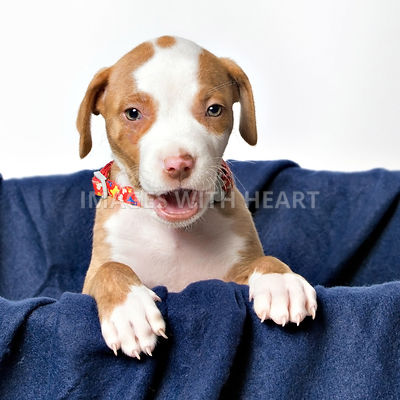 pitbull puppy in basket on plain white background