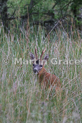 Roe Deer buck (Capreolus capreolus), July 11, Cairngorm National Park, Badenoch, Scottish Highlands