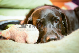 senior dog lying with head down on human bed with toy