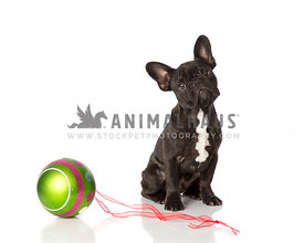 Brindle French Bulldog puppy with large holiday ornament on white background