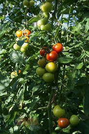 Germany, Tomatoes growing on tomato plant