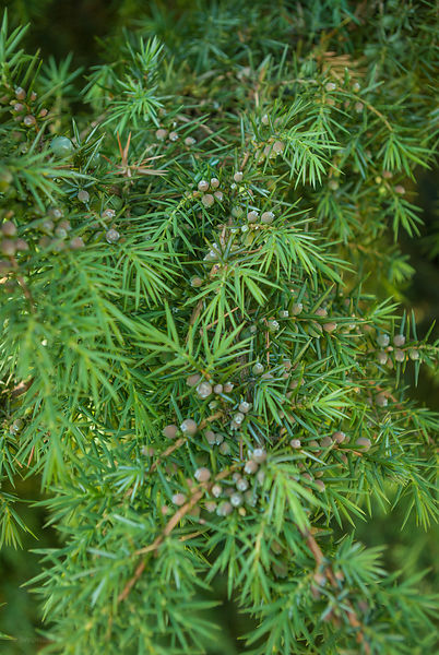Juniper communis - close-up of berries or cones (female bush)