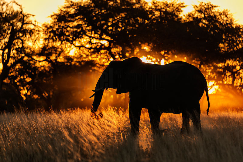 Elephant Silhouetted at Sunset