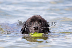 Newfoundland swims through water with ball