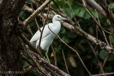 Snowy Egret in  Mangrove Swamps in Dominica