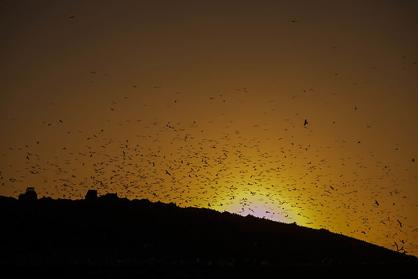 The starlings dance at Dudaim waste site
