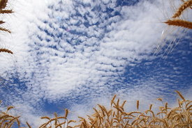 Stalks of wheat against the spacious sky