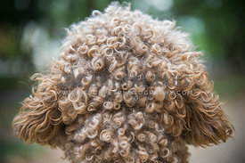 Labroodle fur curls back of head