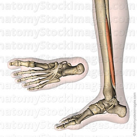 lowerleg-musculus-flexor-digitorum-longus-muscle-tendon-tibia-distal-phalanges-side-skin
