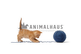 Yellow tabby kitten chasing yarn string on white background