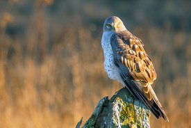 January - Northern Harrier (female)
