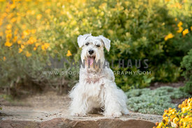 white schnoodle sitting surrounded by yellow flowers eye contact