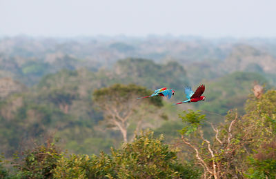 Red and Green Macaws Ara chloropterus flying over canopy of rainfores Peruvian Amazon near Tambopata