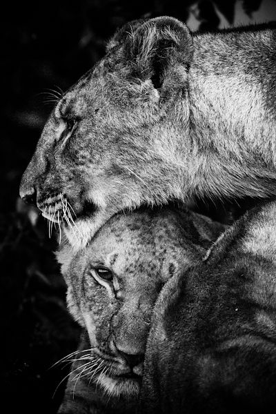 1332-Two_inseparable_lionesses_Kenya_2006_Laurent_Baheux
