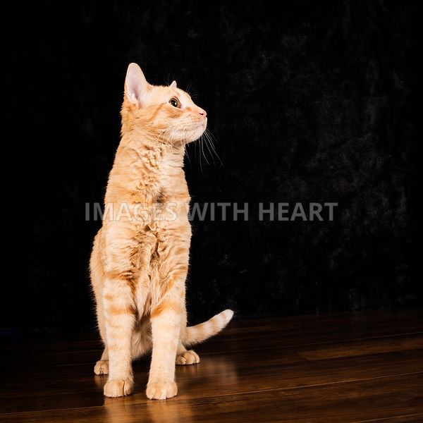 Studio shot on black of an  orange cat