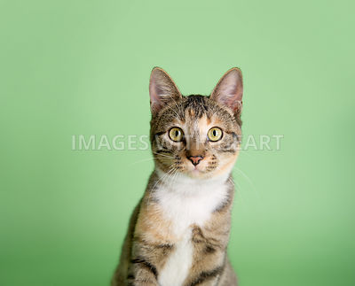CLoseup headshot of a tabby cat on light green background