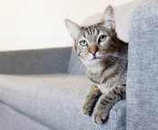 Gray tabby cat on couch