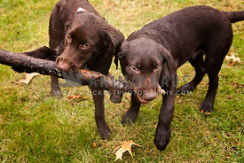 Chocolate Lab puppies playing with a stick in the rain