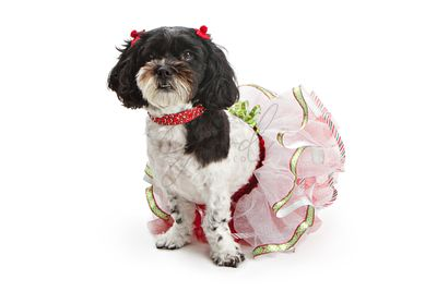 Shih Tzu - Poodle Mixed Breed Dog in Christmas Outfit