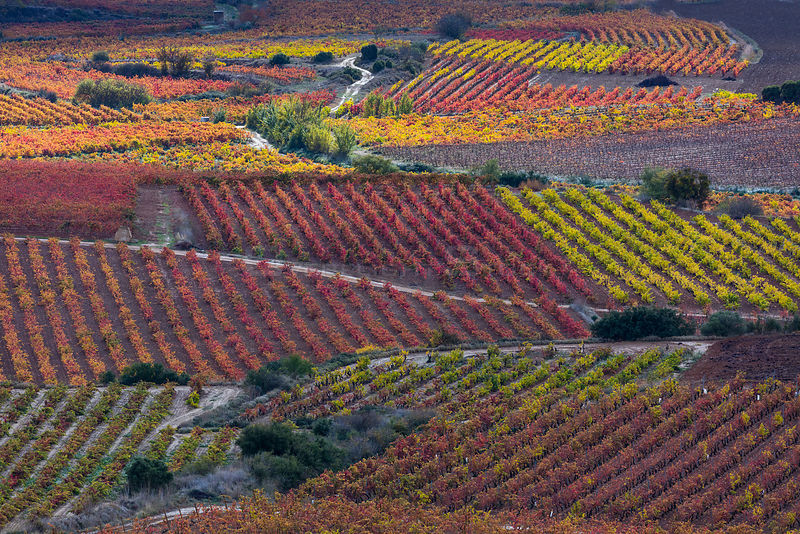 Vineyards in autumn, La Rioja, Sierra De Cantabria, Alava, Basque Country, Spain. November 2017.