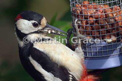 Male Great Spotted Woodpecker (Dendrocopos major) on a garden peanut feeder, with a beakful of peanut fragments for feeding t...
