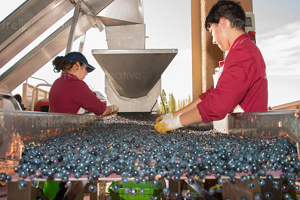 Workers sort individual grape berries on a winery sorting table during harvest.