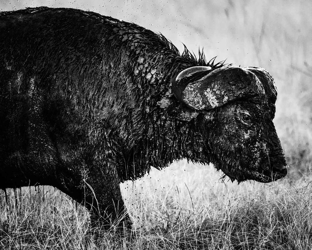 09949-Muddy_buffalo_Kenya_2018_Laurent_Baheux