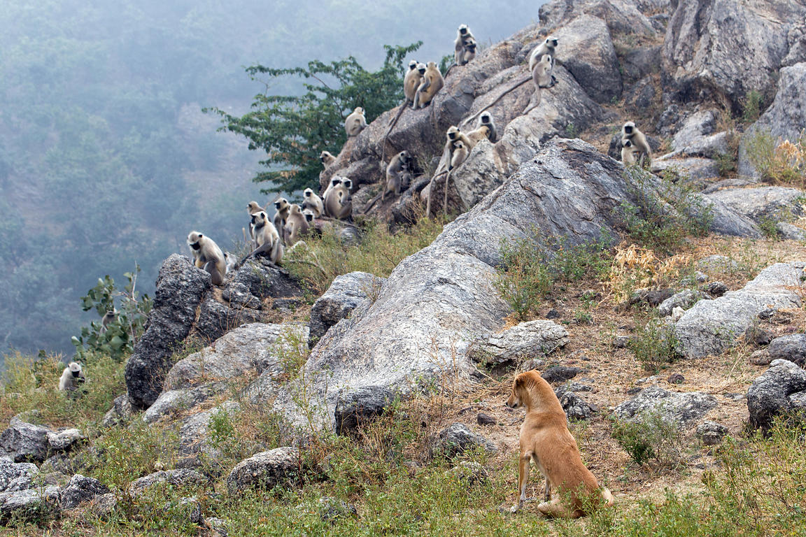 Stray dog watches a troop of Langur monkeys in the Aravali mountains, Ajaypal, Rajasthan, India