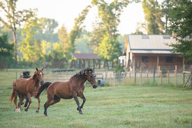2 horses galloping in the pasture