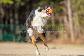 Australian shepherd jumping up with mouth open just as he catches ball