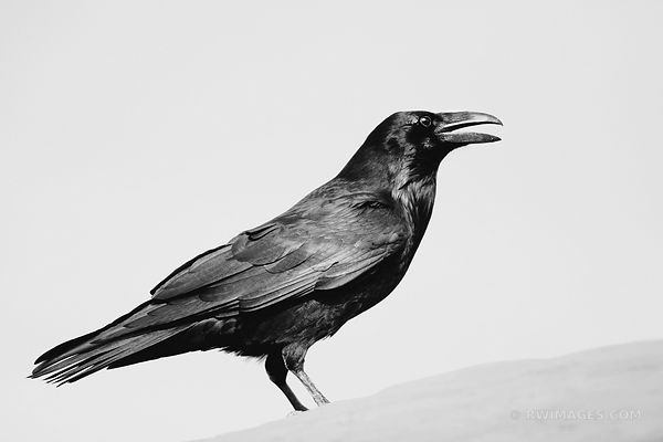 RAVEN GRAND CANYON NATIONAL PARK BLACK AND WHITE