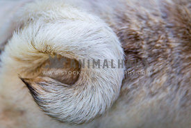 close up detail of a pugs tail