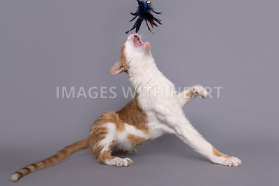 Cat with mouth open catching feather