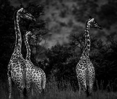 4711-Three_giraffes_South_Africa_2004_Laurent_Baheux