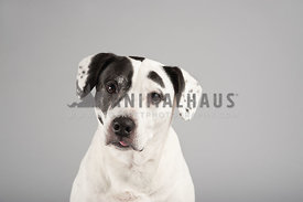 black and white mixed breed mutt portrait on a white gray background