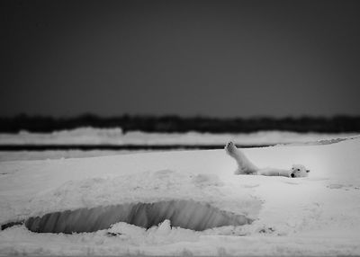 2332-Polar_bear_on_Ice_Laurent_Baheux