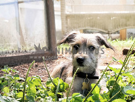 terrier puppy lying in grass outside of greenhouse
