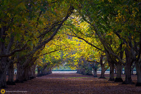 Fall in the Walnut Orchards #11