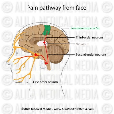 Pain pathways from the face, labeled