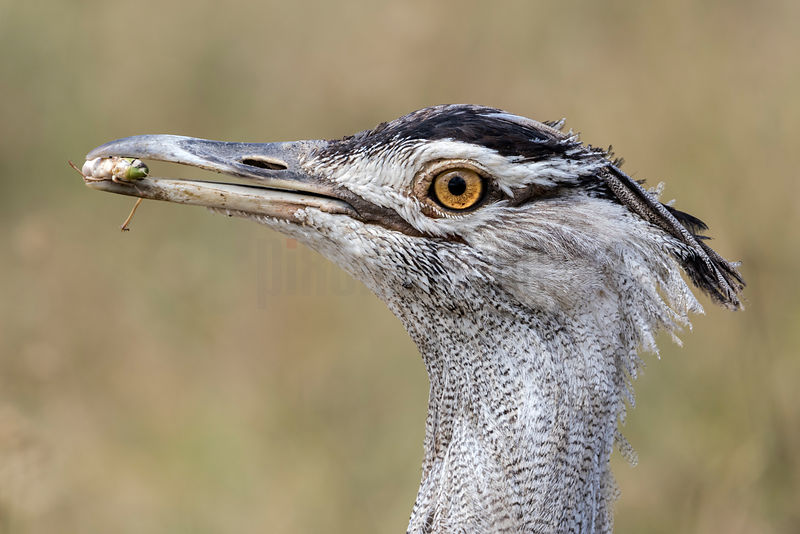 Portrait of a Kori Bustard with a Grasshopper in its Beak