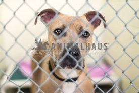 Shelter dog looking at camera from behind chain link kennel
