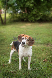 Beagle dog standing in grass field.