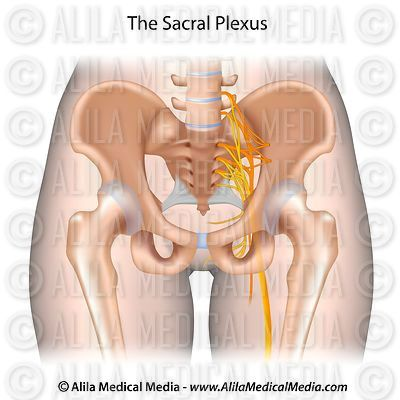 The sacral plexus unlabeled.