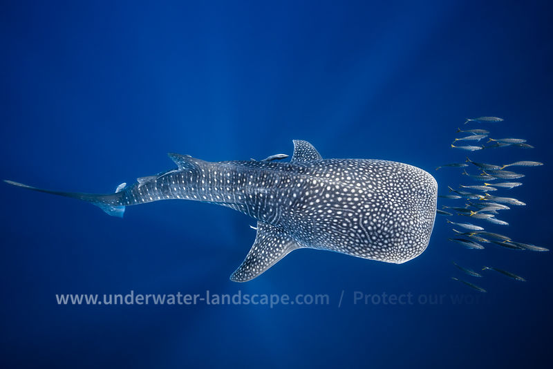 Whale shark and Tuna shoal