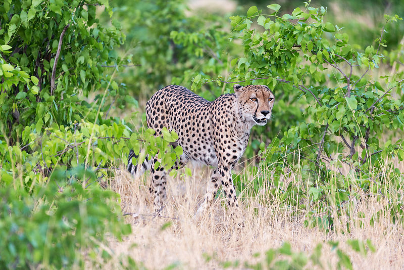 Male Cheetah Walking in Bush